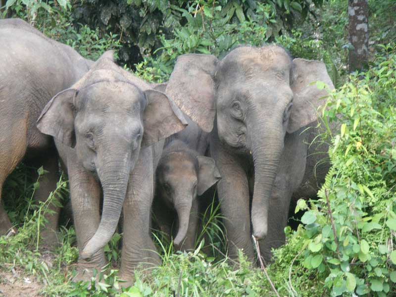pygmy elephants to raise funds to build a new facility