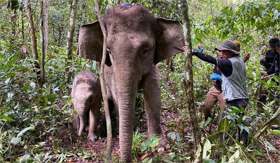 Satellite Tracking Collars for Bornean Elephants